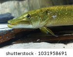 northern pike  esox lucius  in... | Shutterstock . vector #1031958691
