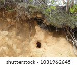 nest cave of the amazon... | Shutterstock . vector #1031962645