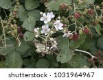 Himalayan Blackberry Blossoms ...
