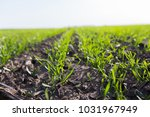 young wheat crop in a field.... | Shutterstock . vector #1031967949