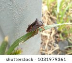 beetle stinky nature close up... | Shutterstock . vector #1031979361