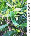 Small photo of Green worm on the leaf. (Arctiidae, Lymantriidae, Lasiocampidae)