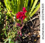 Small photo of Stunning flowers of pretty cerise pink snap dragon Antirrhinum majus blooming in mid spring add interesting old cottage garden charm to a front garden bed .