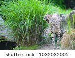 cheetah roars and attacks | Shutterstock . vector #1032032005