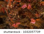 nudibranchs flavelinas at... | Shutterstock . vector #1032057739