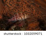 spotted hawkfish at similan... | Shutterstock . vector #1032059071