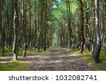 road in a pine forest with... | Shutterstock . vector #1032082741
