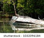 water monitor lizard resting on ... | Shutterstock . vector #1032096184