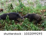 wild boar came downstream to... | Shutterstock . vector #1032099295
