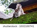 adult monkey suckle little...   Shutterstock . vector #1032100741
