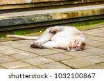 an adult monkey is lying in... | Shutterstock . vector #1032100867