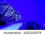 pterois zebrafish  firefish ... | Shutterstock . vector #1032102379