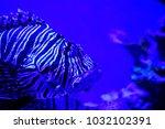 pterois zebrafish  firefish ... | Shutterstock . vector #1032102391