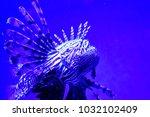 pterois zebrafish  firefish ... | Shutterstock . vector #1032102409