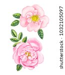 watercolor hand painted rose.... | Shutterstock . vector #1032105097