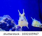 the longhorn cowfish  lactoria... | Shutterstock . vector #1032105967