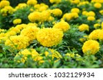 nature view of yellow african... | Shutterstock . vector #1032129934