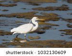 a white morph western reef... | Shutterstock . vector #1032130609