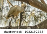 Young African Spoonbill Waitin...