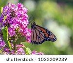 monarch butterfly  danaus... | Shutterstock . vector #1032209239