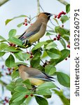 Small photo of Pair of Cedar Waxwings Perched in American Holly Tree