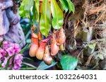 nepenthes. little predatory... | Shutterstock . vector #1032264031
