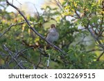 common nightingale or simply... | Shutterstock . vector #1032269515