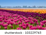 Bed Of Tulips Field