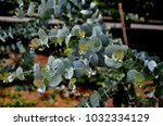 the leaves of the eucalyptus... | Shutterstock . vector #1032334129