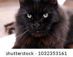 maine coon cat. live nature. | Shutterstock . vector #1032353161