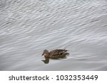 a lone duck swims along the... | Shutterstock . vector #1032353449