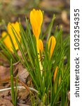 crocus  plural crocuses or... | Shutterstock . vector #1032354355