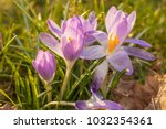 crocus  plural crocuses or... | Shutterstock . vector #1032354361