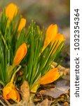 crocus  plural crocuses or...   Shutterstock . vector #1032354364