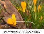 crocus  plural crocuses or...   Shutterstock . vector #1032354367