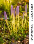 crocus  plural crocuses or... | Shutterstock . vector #1032354385
