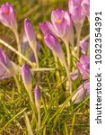 crocus  plural crocuses or... | Shutterstock . vector #1032354391