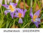 crocus  plural crocuses or...   Shutterstock . vector #1032354394