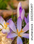 crocus  plural crocuses or...   Shutterstock . vector #1032354397