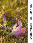 crocus  plural crocuses or... | Shutterstock . vector #1032354409
