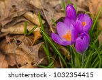crocus  plural crocuses or... | Shutterstock . vector #1032354415