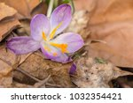 crocus  plural crocuses or... | Shutterstock . vector #1032354421