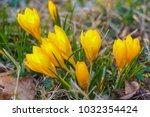 crocus  plural crocuses or...   Shutterstock . vector #1032354424
