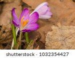 crocus  plural crocuses or...   Shutterstock . vector #1032354427
