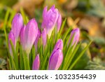 crocus  plural crocuses or... | Shutterstock . vector #1032354439