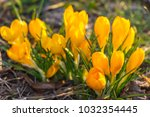 crocus  plural crocuses or... | Shutterstock . vector #1032354445