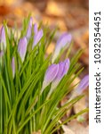 crocus  plural crocuses or... | Shutterstock . vector #1032354451