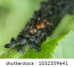 red ant rufa | Shutterstock . vector #1032359641