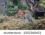 redbreast standing in the moss | Shutterstock . vector #1032360421