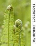 young green ferns | Shutterstock . vector #1032363061